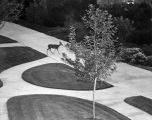 Deer Visits University of Judaism Familian Campus